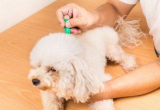 dog getting flea treatment