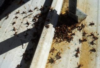 dead wasps after pest control