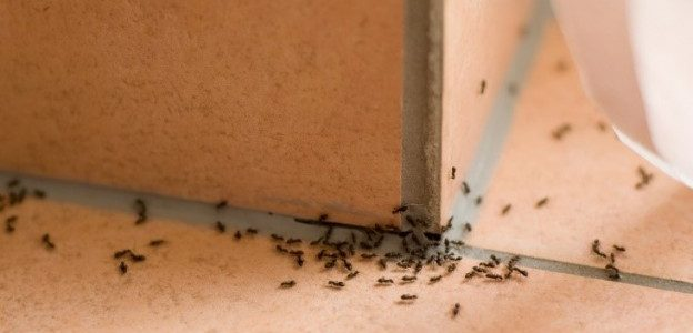 indoor ant infestation