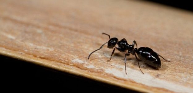 close up of ant found indoors