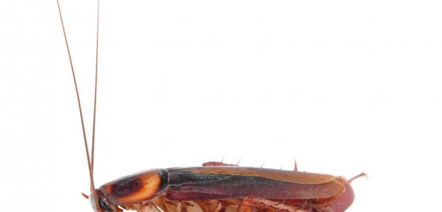 single cockroach from infestation