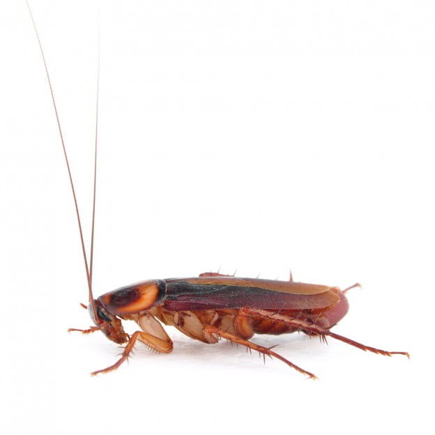Why Cockroaches Can Be Hard to Control | GC Pest Control