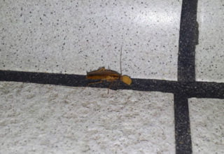 German cockroach in gold coast home