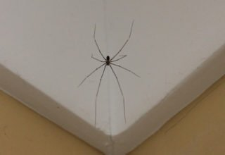 daddy longlegs spider in gold coast home