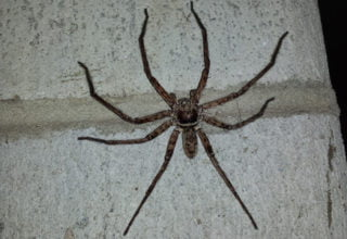 huntsman spider found during inspection