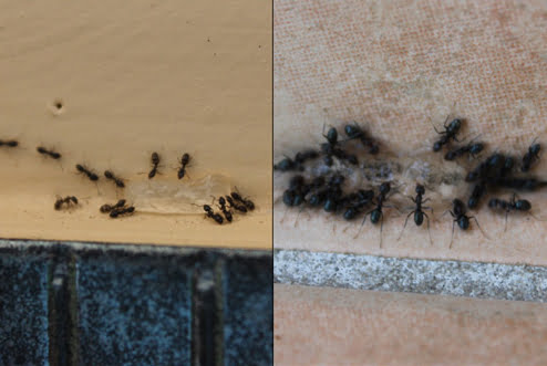 Ant Control Treatment Gold Coast