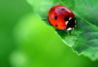 ladybug garden pest