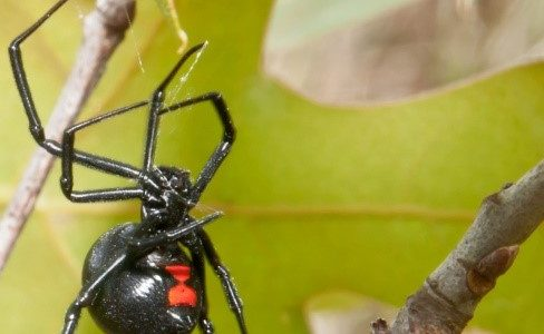 red back spider near gold coast