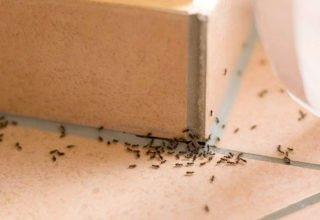 ants inside gold coast home