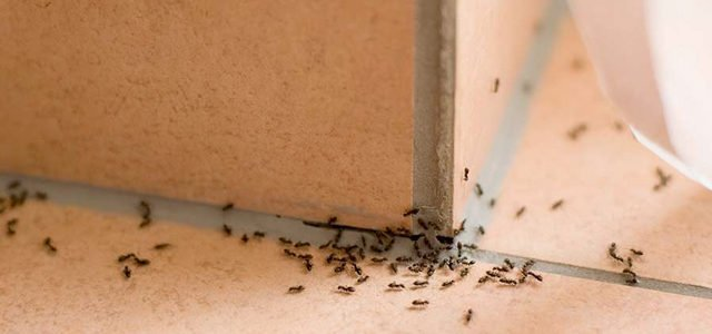 ants inside gold coast home